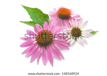 Echinacea flowers isolated on a white background - stock photo