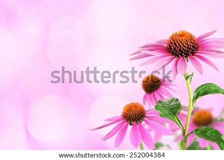 Echinacea for homeopathy - stock photo