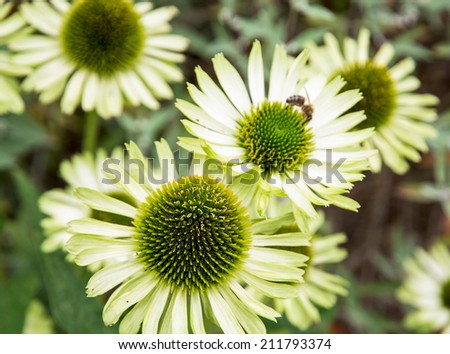 Echinacea (Green jewel) flowers in the garden. - stock photo
