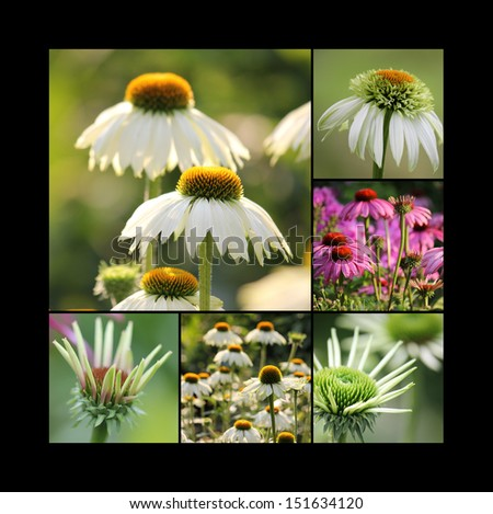 Echinacea homeopathic - stock photo