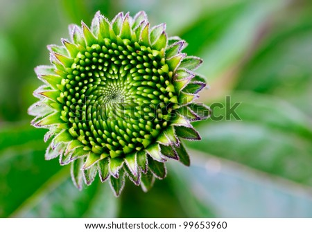 Echinacea plant aka coneflower macro shot - stock photo