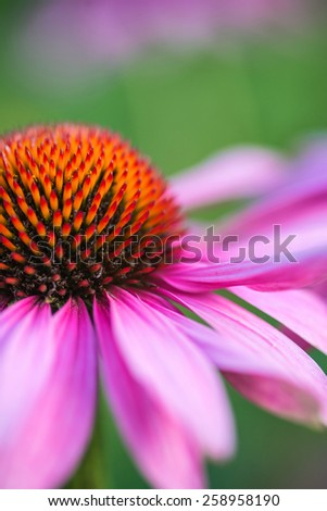 Echinacea purpure Coneflower Rubinstern flower - stock photo