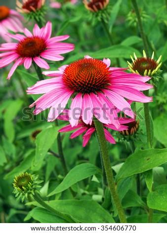 echinacea purpurea - stock photo