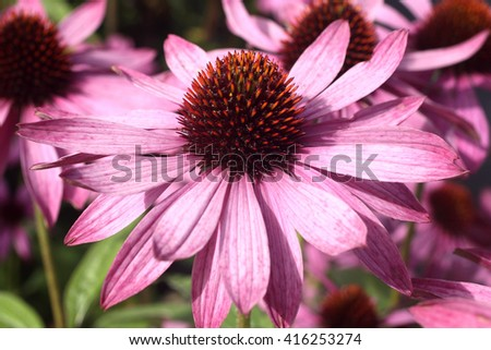 Echinacea Purpurea (Coneflower) a common hardy purple or white perennial, which as a herb is used to stimulate the immune system and has anti depressant properties - stock photo