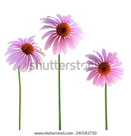 Echinacea purpurea coneflower Flowers isolated on white background  - stock photo