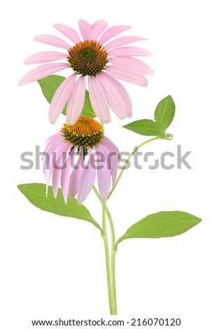 Echinacea purpurea coneflowers - stock photo