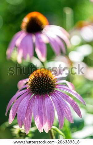 Echinacea purpurea Echinacea purpurea, an herb used to stimulate the immune system. - stock photo