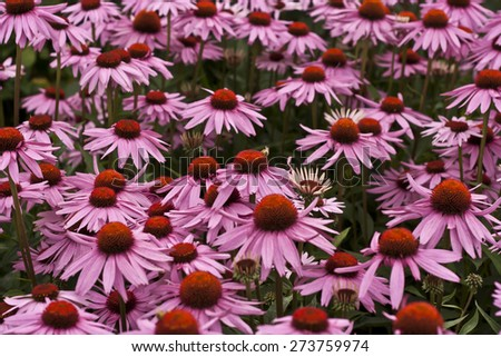 echinacea purpurea flowers, blooming medicinal herb - stock photo