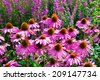 Echinacea Purpurea Maxima in a garden - stock photo