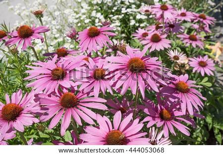 echinacea purpurea - perennial herb and healing plant - stock photo