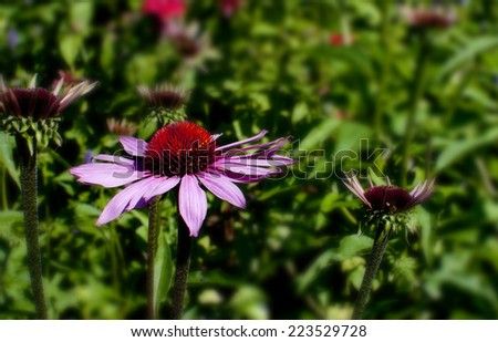 Echinacea (Robert Bloom) flowers in the gardens of Chartwell House, Winston Churchill's home until his death in 1965.  he was a keen gardener. - stock photo