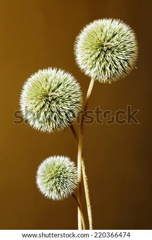 Echinops, globe thistles plant, spherical flower head - stock photo
