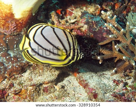 Eclectic looking butterflyfish (Chaetodontidae) feeding on coral polyps - stock photo