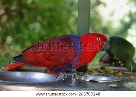 Eclectus parrot (eclectus roratus) in South Africa - stock photo