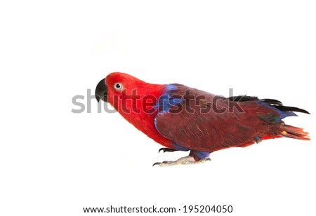 Eclectus Parrot sideview head down looking up, bright red  isolated on white background - stock photo