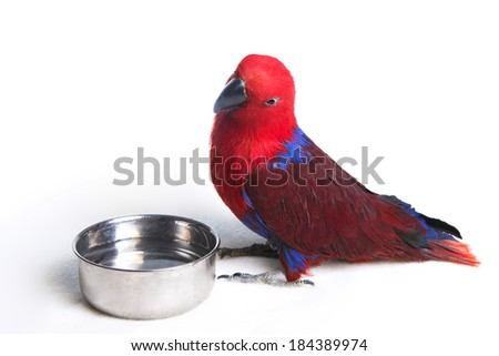 Eclectus Parrot with water dish isolated on white background - stock photo