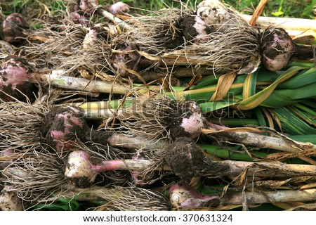 Eco Garlic bulbs in country garden. - stock photo