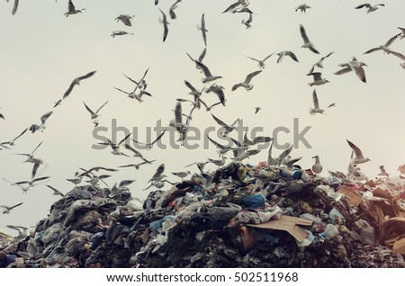 Ecology disaster, seagulls flying over a landfill