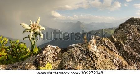 Edelweiss flower of the alps as panoramic