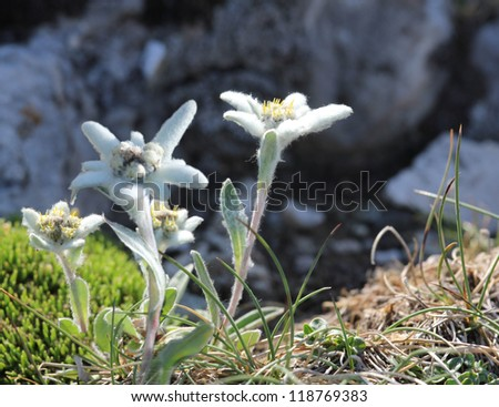 Edelweiss flowers on the top of the mountains