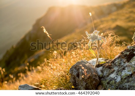 Edelweiss in the evening light