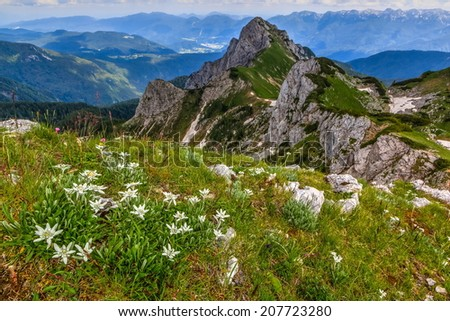 Edelweiss on a meadow with a view of Jezerski Stog mountain in the background in Triglav national park in the summer, Slovenia - stock photo