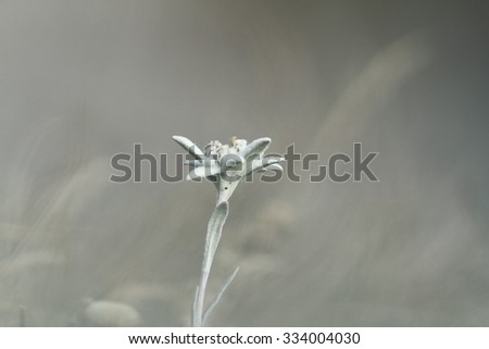 edelweiss wildflower over out of focus background ( Leontopodium alpinum ) - stock photo