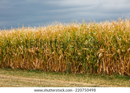 Edge of a large corn maze on midwest farm. - stock photo