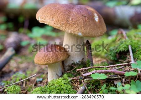 Edible Bolete Mushrooms in autumn forest. Boletus edulis. - stock photo