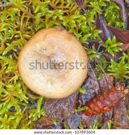 Edible Delicious Milk Cap Mushroom, Lactarius deliciosus, growing among moss and leafy plants on green forest floor - stock photo