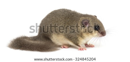 Edible dormouse in front of a white background - stock photo