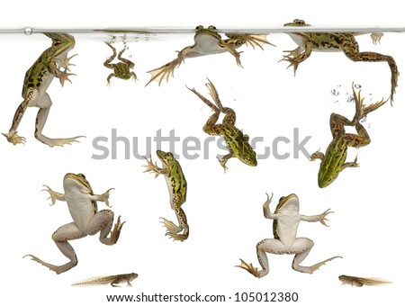 Edible Frogs, Rana esculenta, and tadpoles swimming under water against white background - stock photo