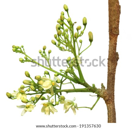 Edible moringa flower over white background - stock photo
