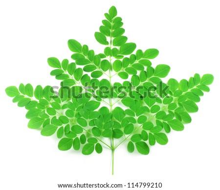Edible moringa leaves - stock photo