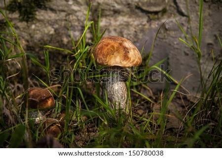 edible mushroom - boletus - stock photo