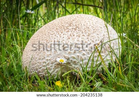 Edible mushrooms with excellent taste, Lycoperdon utriforme - stock photo