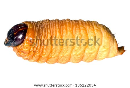 Edible palm weevil larvae (Rhynchophorus phoenicis) from the Amazon - stock photo