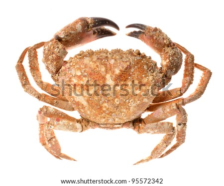 edible shore crab covered with sea molluscs isolated on white - stock photo