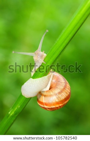 Edible snail (Helix pomatia) on the grass. Snails provide an easily harvested source of protein to many people around the world. Close up with shallow DOF. - stock photo