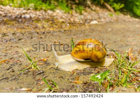 Edible snail (Helix pomatia) over a garden. Snails provide an easily harvested source of protein to many people around the world. - stock photo
