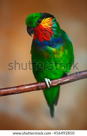 Edwards's fig parrot, Psittaculirostris edwardsii, also known as the scarlet-cheeked fig parrot, green parrot with red face sitting in branch, clear brown forest background, bird in nature, New Guinea - stock photo