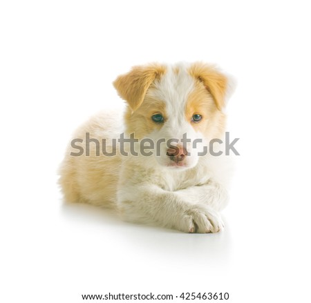 Ee red Border Collie puppy. Young dog isolated on white background. - stock photo