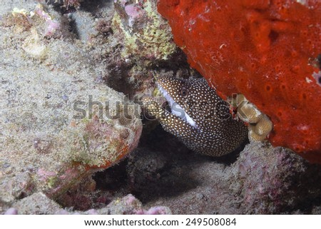 Eel at Hawaii Coral Reef - stock photo