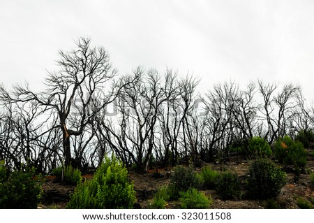 Effects of the Fire in a Forest, in Canary Islands, Spain - stock photo