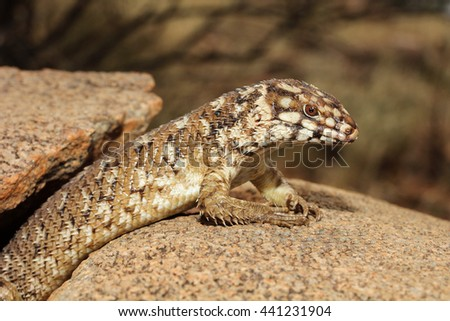 Egernia hosmeri is a species of saurians of the family of Cophoscincopus. It is a lizard viviparous. This species is endemic to Australia. It occurs in the Northern Territory and Queensland.