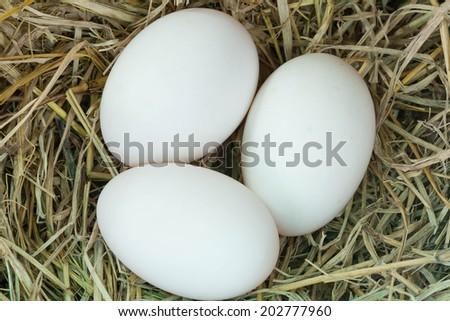 egg of duck - stock photo
