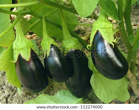 eggplant fruits growing in the garden - stock photo