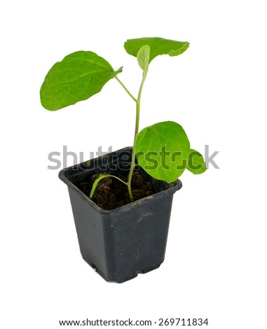 eggplant seedling isolated on white - stock photo