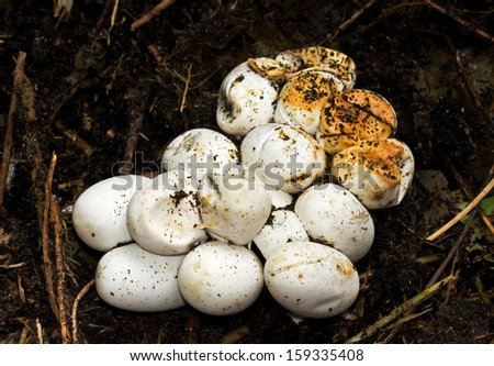 Eggs of a Grass snake - stock photo