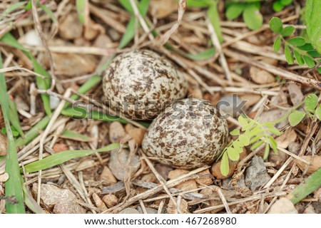 Eggs of Red-wattled Lapwing bird on ground in forest, Bird's nest on a ground. This bird's nest was found deep in the forest